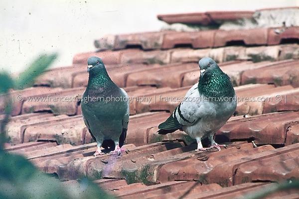 piccioni 01-2