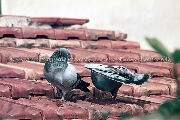 piccioni 02-2