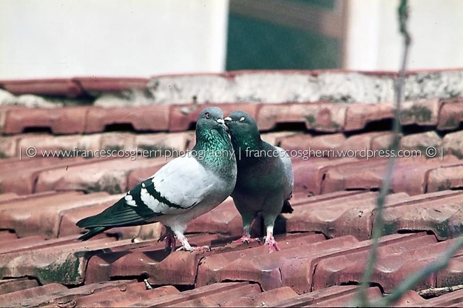 piccioni 03-2