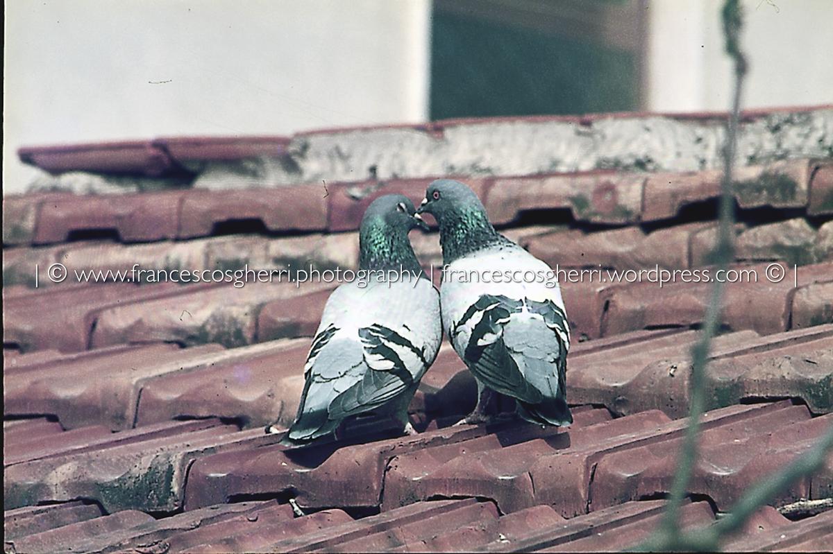 piccioni 04-2
