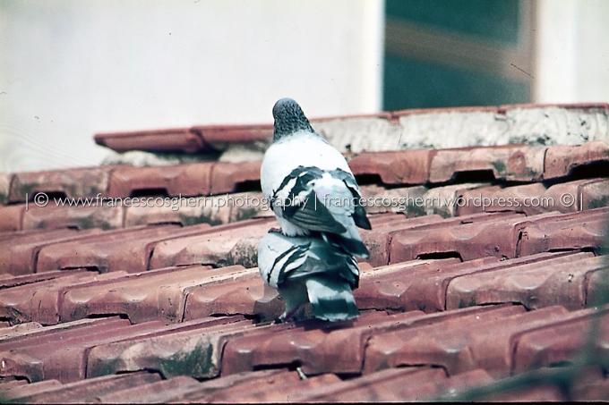 piccioni 05-2