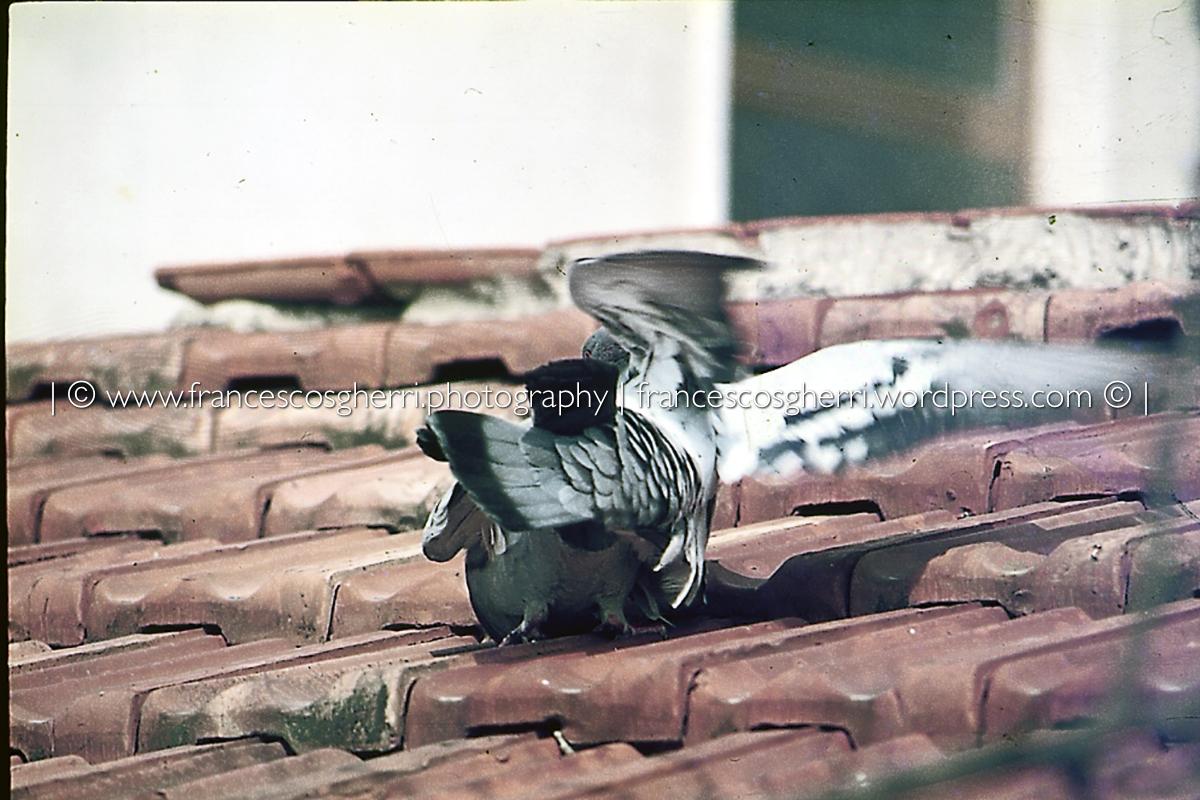 piccioni 06-2